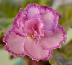 african violets | Tomorrows Pink Ice Standard African Violet Plant Flowers