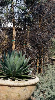 Agave 'Blue Glow' with Agonis flexuosa 'After Dark'. Agonis is something feathery that would be nice in front of living room and/or to screen the west fence. Agave Blue Glow, Privacy Screens, Agaves, Desert Plants, Trees And Shrubs, After Dark, Patio Design, Yard Ideas, Landscaping Ideas