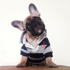 """""""Why for you dress me in this silly outfit? Toy Bulldog, Bulldog Pics, Bulldog Puppies, Free Puppies, Puppies And Kitties, Doggies, I Love Dogs, Puppy Love, Cute Dogs"""