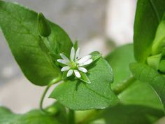The tiny flowers of Stellaria media, Common Chickweed, a dynamic accumulator that has a lot of Permaculture benefits... poultry food (hence the name), ground cover, and dynamic accumulator! More information of dynamic accumulators in article.