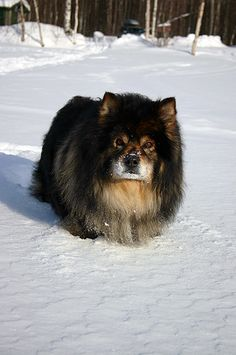 finnish Lapphund photo | Finnish lapphund by ~zatsuon on deviantART