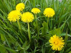Ve žlutých květech pampelišky je ukryta síla samotného slunce: Zdravotní účinky na tělo jsou ohromné – takto si ji připravíte Plants, Plant, Planets