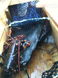 Lobster time! Norway, Meat, Hair Styles, Food, Hair Plait Styles, Hair Makeup, Essen, Hairdos, Haircut Styles
