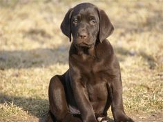 """Love his handsome face, beautiful eyes, nice block head and mussle, perfect size soft brown ears..he's growing into his legs..""""Sir Luke"""" @ 10 months old."""