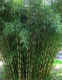 Box of 5 Fargesia Rufa, live, cold hardy nonrunning, clumping bamboo plant grown in number 1 size container. Bamboo Landscape, Bamboo Garden, Home Garden Plants, Garden Shrubs, Garden Landscaping, Bamboo Box, Garden Fun, Garden Path, Tropical Garden