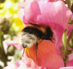 Someone Noticed How Cute Bumblebee Butts Are, And Now We Can't Get Enough