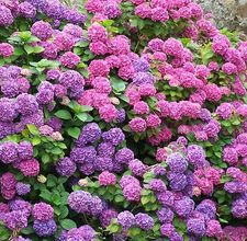 Add coffee grounds to the soil around your hydrangeas to increase blooming (blue flowers)