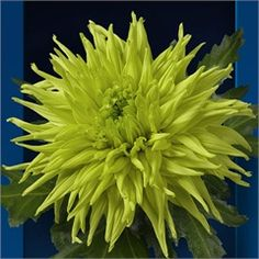 Chrysanthemum Blooms Galiaro Green are a green, disbudded, single headed cut flower variety. 70cm tall & wholesaled in 10 stem wraps.