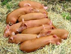 tamworth pigs  ~ heritage breed