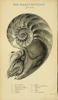 Print this picture along with Holmes' poem The Chambered Nautilus http://www.legallanguage.com/resources/poems/chamberednautilus/