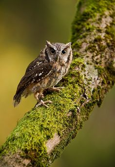 Tropical Screech Owl (Megascops choliba) South America
