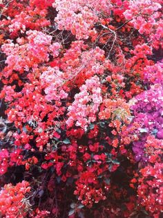 if I ever move back to SoCal, I'll have bougainvillea in many colors tumbling around my property