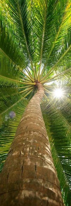 Light shining through pine tree, Paradise Coast beach of Naples, Florida. ~ RO.T