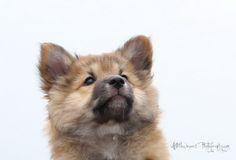 miss-bera-ijslandse-hond-pup. Icelandic dog puppy, Miss Bera. Pieterburen / Netherlands