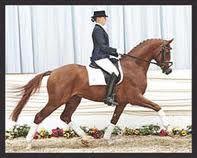 Warm-blood stallion Bellissimo M