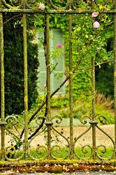 A Wrought Iron Fence As A Rose Trellis.