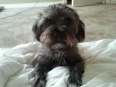 Theres no cuter pup than my #morkie, Worf.