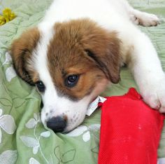 Penny The Great Pyrenees Mix Puppy Breed Border Collie