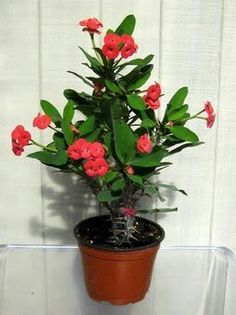 indoor Plants Crown of Thorns- don't water to often, keep in bright spot with indirect sun. Can flower all year!Crown of Thorns- don't water to often, keep in bright spot with indirect sun. Can flower all year! Best Indoor Plants, Exotic Plants, Outdoor Plants, Tropical Plants, Planting Succulents, Garden Plants, House Plants, Planting Flowers, Red Flowers