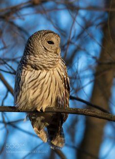 Barred Owl by hbjl #animals #animal #pet #pets #animales #animallovers #photooftheday #amazing #picoftheday