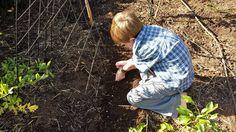 How to Grow Peas - Rosehips and Rhubarb