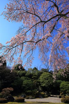 cherry blossoms Chion-in Yuzen-en in Kyoto,Japan