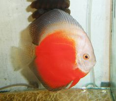 White red discus