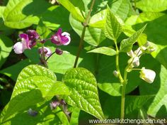 Bean blossoms