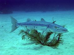 1000 images about fish on pinterest red snapper for Barracuda fish for sale
