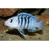 "Labidochromis chisumulae ""clown lab""  -1.25 -2.25 inches"