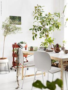 Groen in huis: haal de planten uit de vensterbank en creëer thuis een urban jungle | IKEA IKEAnl IKEAnederland wooninspiratie inspiratie interieur wooninterieur decoratie groen planten plant kamerplanten kamperplant bloemen zuurstof PACHIRA AQUATICA SUCCULENT potplant bombax RÅSKOG roltafel tafel