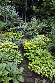 Lining a rustic woodland path with mixed hosta borders creates two flowing ribbons of color and texture, with hues from chartreuse to green to blue and foliage that ranges from wide and flat to narrow and ruffled along the edges.