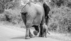 Sud Africa – Elefanti