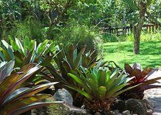 Bromelia causa um feito magnífico no paisagismo com sua elegância plena com…