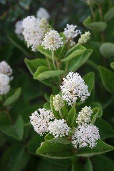 Ceanothus americanus, New Jersey Tea. 1.2m high and wide. Any reasonably drained soil, sun, light shade. Leaves dried and used for tea. Harvest just before flowering and dry quickly. Nitrogen fixing. Flowers rich in saponins and used as a soap substitute. Roots make red dye.