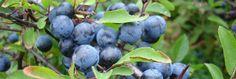 C arşivleri - Gökçek Gıda - Şifalı Bitkiler - İbrahim Gökçek Ürünleri