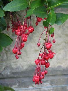 Berberidopsis corallina (Berberidopsidaceae). Native:Chile; Evergreen climber, hardy -12C, semi-shade/shade. Flowers:July-September