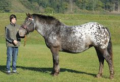 Color shifting is not limited to American Appaloosas, as this Noriker mare shows.