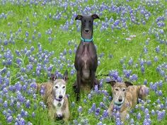 NEVER SAY NEVER GREYHOUNDS. I believe Maggie is the black one, then Seven is the brindle with ears down. I forgot--maybe Ryan?--is the ears up one. Check out her blog for Greyhounds who do everything!