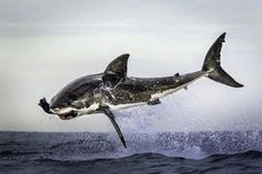 white shark's flying attack (Dana Allen/Caters News/Milestone Media)
