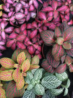 Fittonia (nerve plants) Collection - Green Friends for Our Home  IMAGES, GIF, ANIMATED GIF, WALLPAPER, STICKER FOR WHATSAPP & FACEBOOK