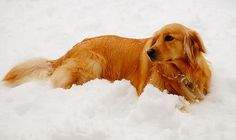 Golden in the Snow. Photograph on Fine Art America.