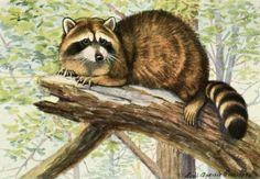 Fuertes, Louis Agassiz (1874-1927) - Burgess Animal Book for Children 1920 (Racoon).