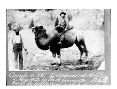 Cariboo Gold Rush Camel.  The camels were bought from the US army and used to carry supplies up to the gold fields.