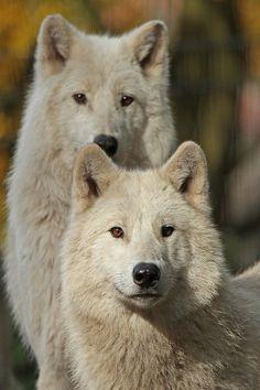 wonderous-world:  Hudson Bay Wolves by J.A. Kok