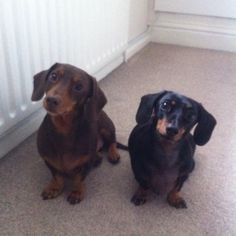 Doxies thinking that im holding a biscuit not a camera...everything looks like food to this breed!  :o)