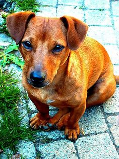 Buddy, our gorgeous Jackshund. A Jack Russell/ Dachshund ...