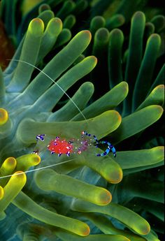 Anemone Shrimp, even under the sea, god makes designs maybe only he will ever see, till we explore his Marvelous World And All its Wonderful Creations And Creatures!