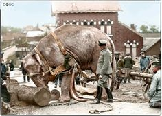 An Asian elephant named 'Jenny', from the Hagenbeck Zoo in Hamburg, used by Germans in Valenciennes, France to help move tree trunks in 1915.