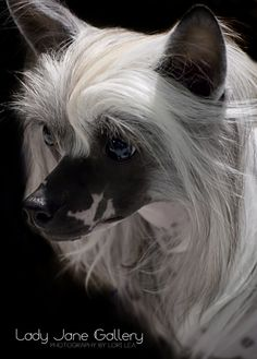 .Chinese Crested Dog